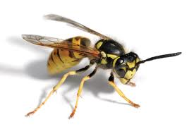 Bad Wasps! Do not build nests on my home