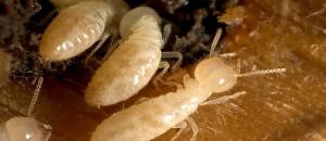 termites control services in WA
