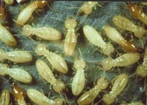 termite pest control Perth