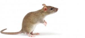 rats control perth