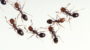 Ants pest control Perth