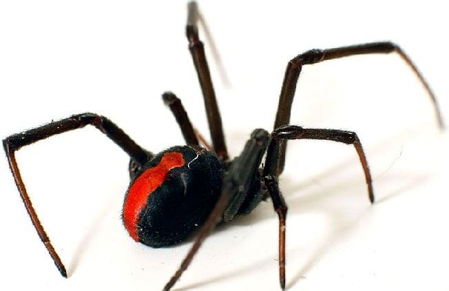 spider control Perth