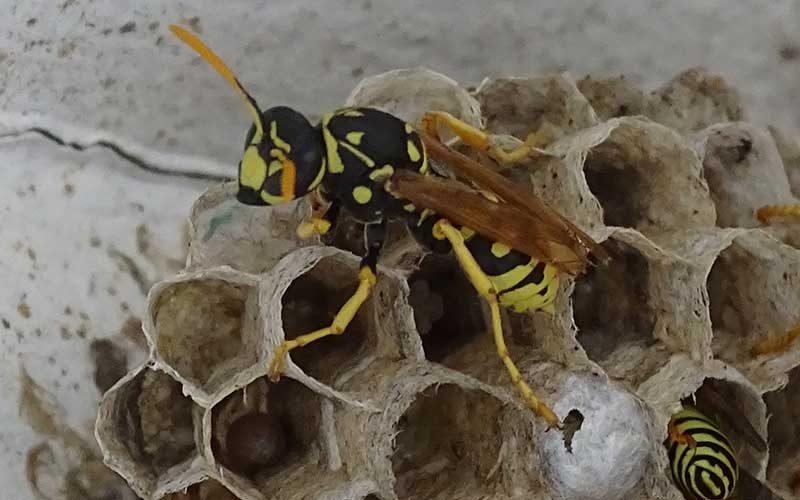 wasp pest control Perth