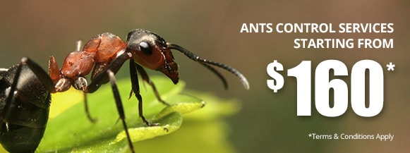 ants control services starting from $160