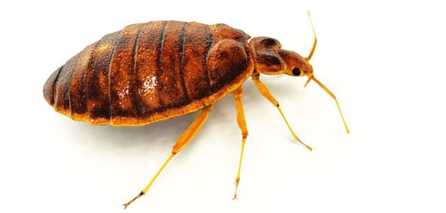 bed bugs control perth