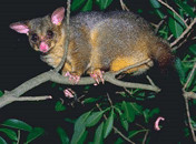 possums1