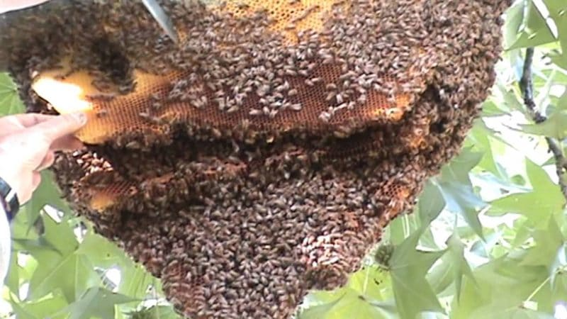 Bees Hive Removal Perth