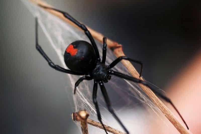 Redback spider control Perth