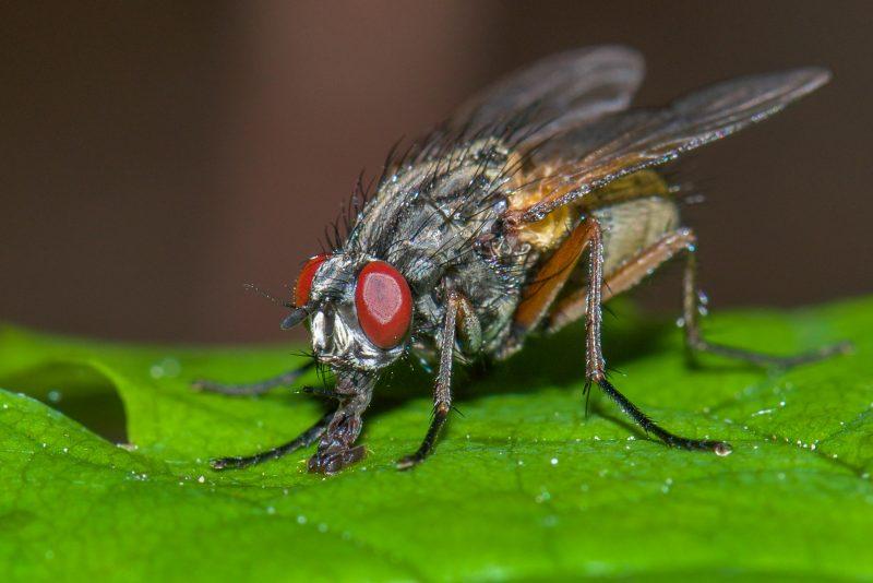 Flies Control Perth