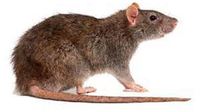 rats removal perth